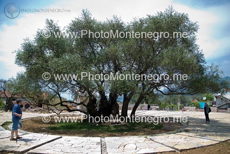 Najstarija maslina na Balkanu i Evropi Dsc_0136s